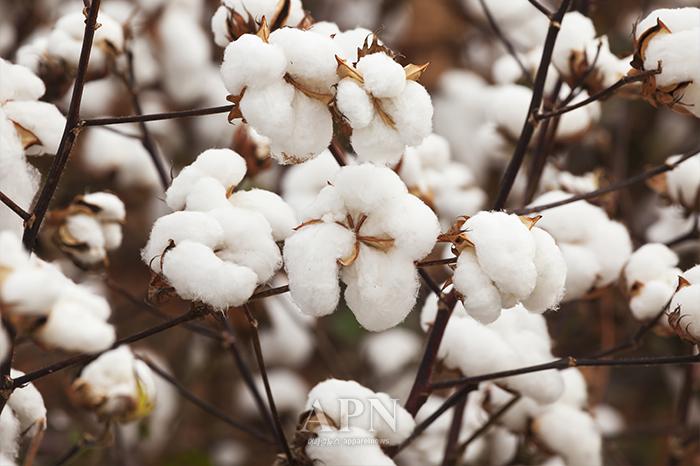 미국 등이 중국 신장 위구르 자치지구에서 생산되는 면과 면제품 수입을 전면 금지키로 규제를 강화하고 나서 그 파장을 예단하기 어려운 상황이다.